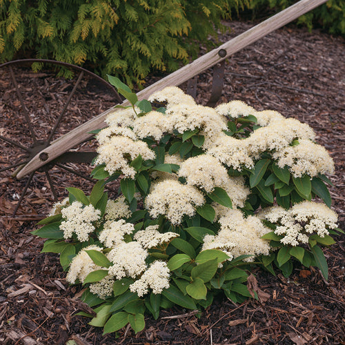 Viburnum Little Ditty E7 !