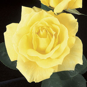 Rose Mellow Yellow