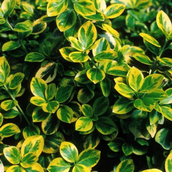 Moonshadow variegated Euonymou
