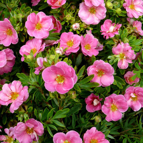 Potentilla Pink Queen C-10 !