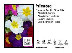 Primrose 'Pacific Giant Mix' Primrose