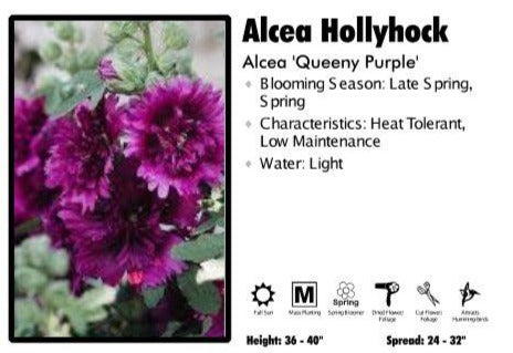 Alcea 'Queeny Purple' Hollyhock