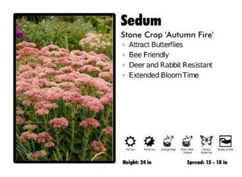 Sedum 'Autumn Fire' Stone Crop