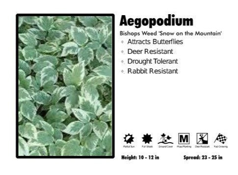 Aegopodium 'Snow On the Mountain'