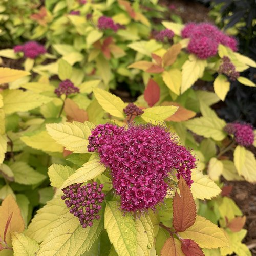 Spirea - Dbl Play Candy Corn