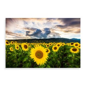Maui Sunflowers - Pueo Gallery
