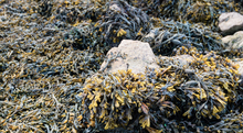 Load image into Gallery viewer, Fucus Vesiculosus Bladderwrack