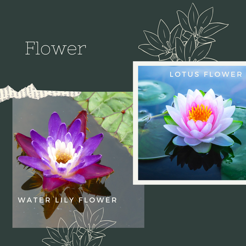 water lily flower lotus popped roasted seeds himalayan makhana