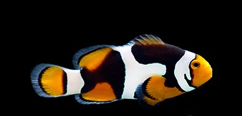 onyx clownfish Amphiprion for sale at clownfishocd.com clownfish ocd