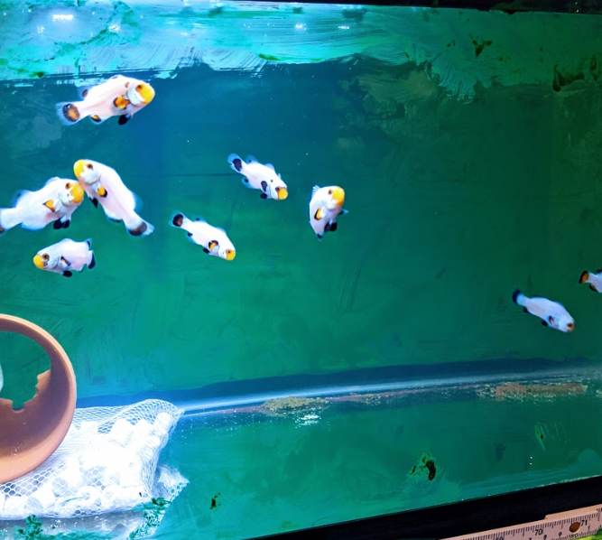 wyoming white clownfish for sale at clownfish ocd