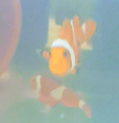 big clown fish breeder size pair