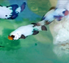 clownfish being paired