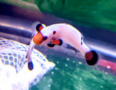 clownfish bonded pairs for sales
