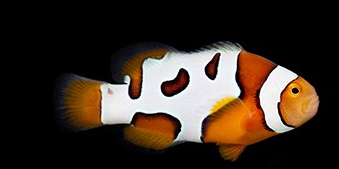 Premium Picasso clownfish for sale at clownfishocd.com