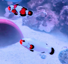clownfish pair for sale
