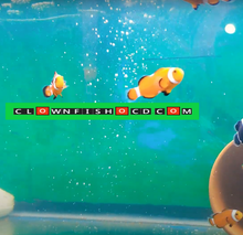Load image into Gallery viewer, clownfish for sale, clown fish for sale