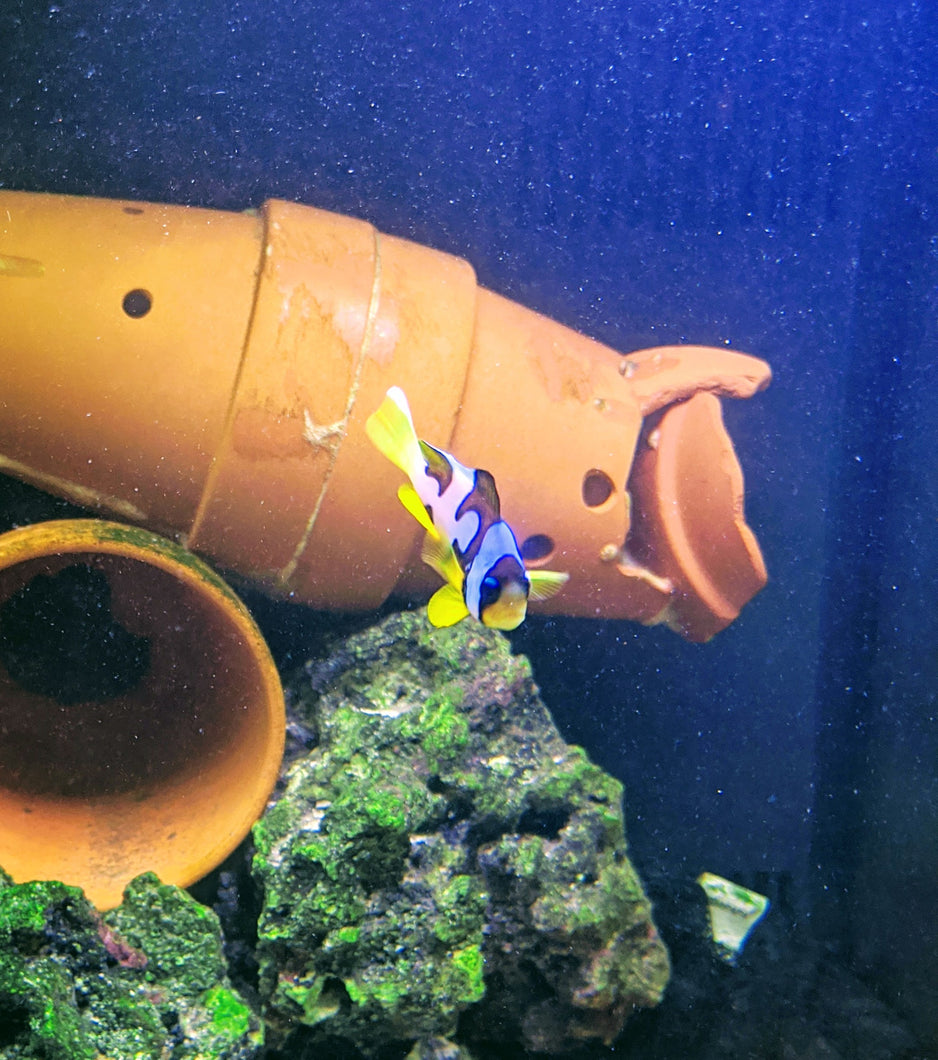 clownfish for sale, clown fish for sale, most expensive clownfish in the world