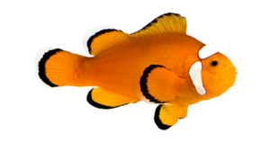 clownfish for sale, clown fish for sale