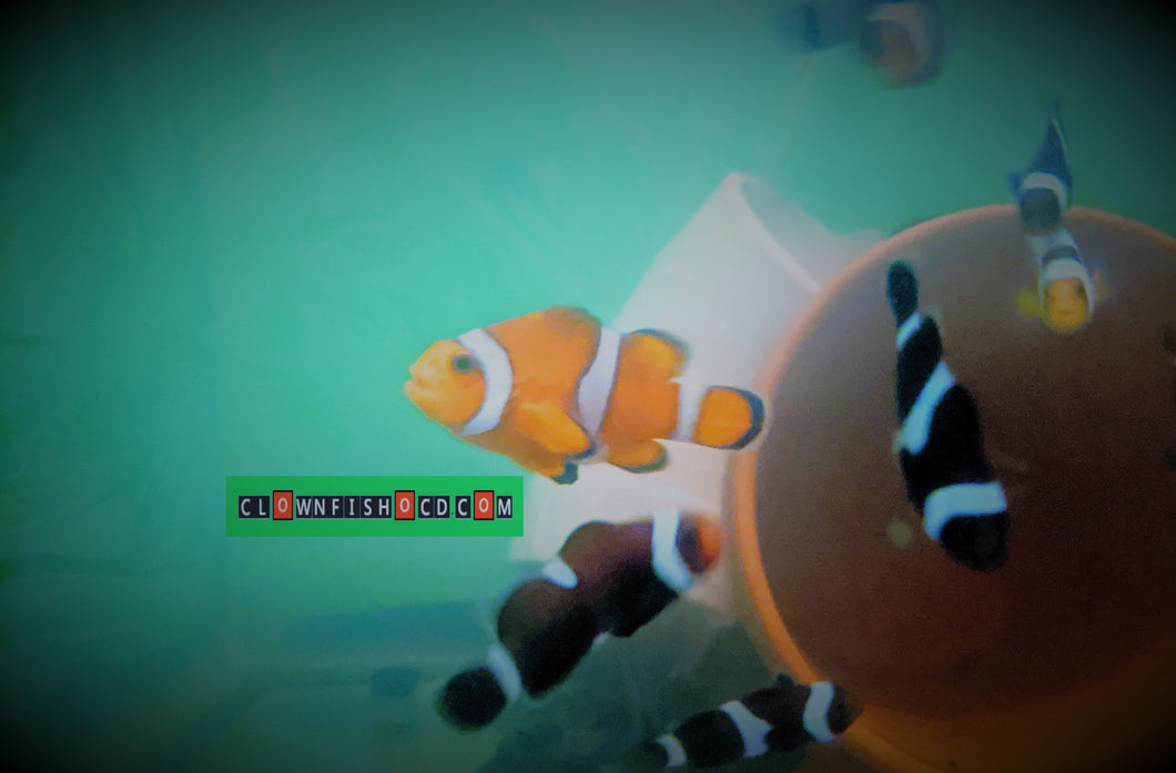 clownfish for sale, clown fish for sale, breeder sized female ocellaris
