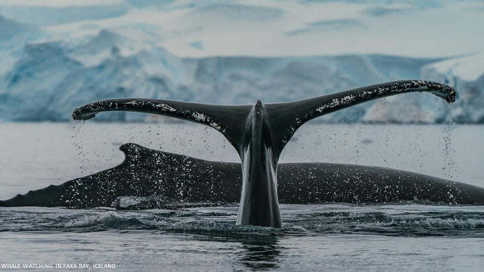 Whale Watching in Faxa Bay, Iceland