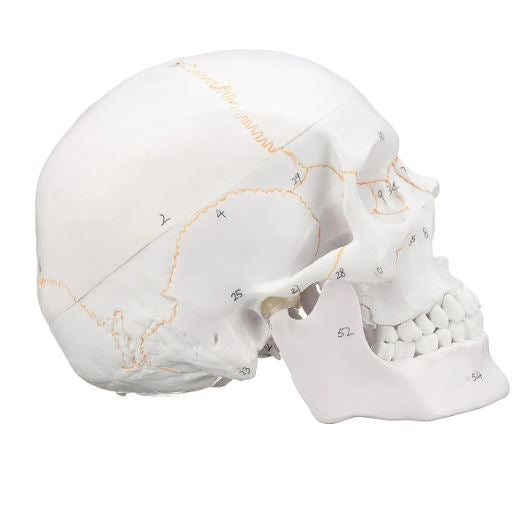 Head Skeleton Skull