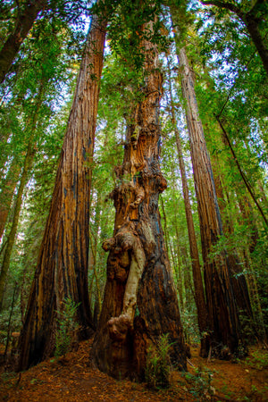 Redwood Deformity