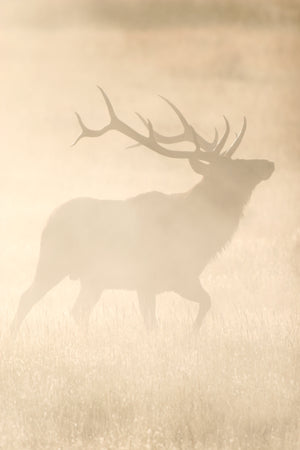 Elk in the Mist 1