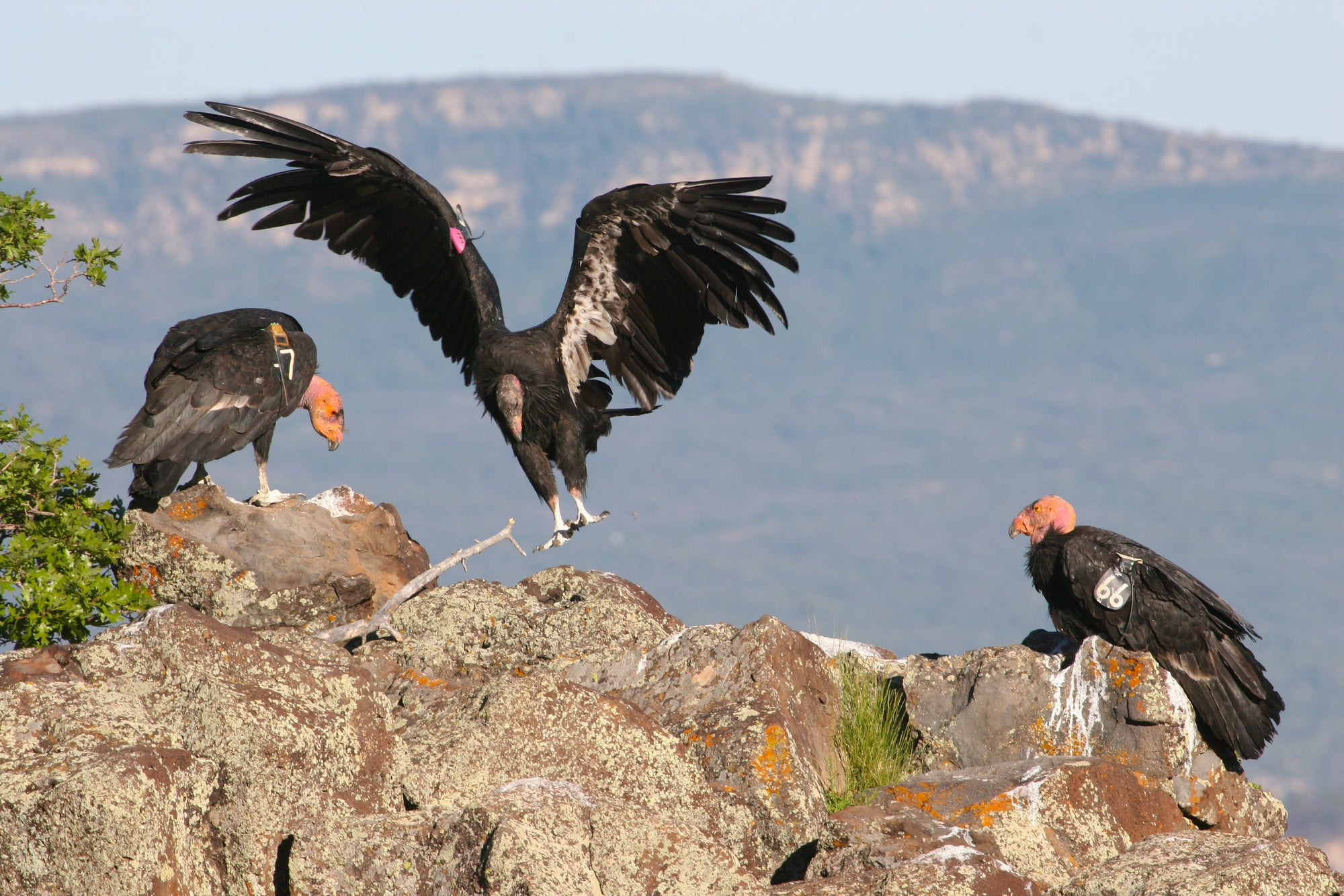 Three California Condors