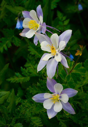 Pale Blue Columbines