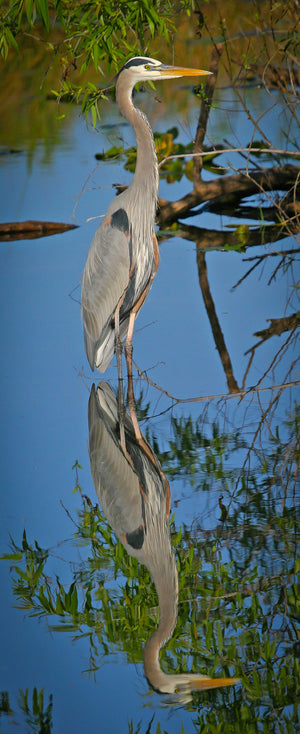 Great Blue Heron with perfect reflection