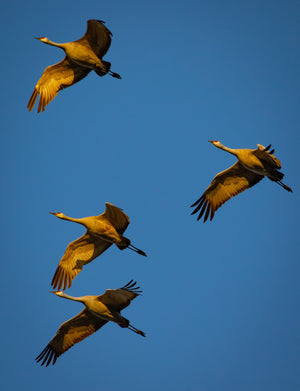 Sandhill Cranes in Flight 3