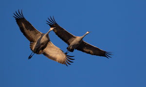 Sandhill Cranes in Flight 2