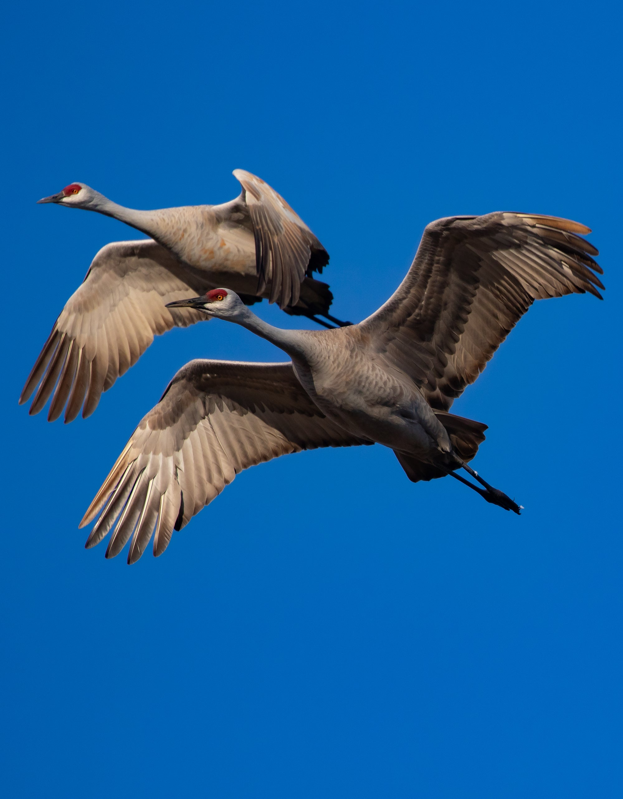 Sandhill Cranes in Flight.