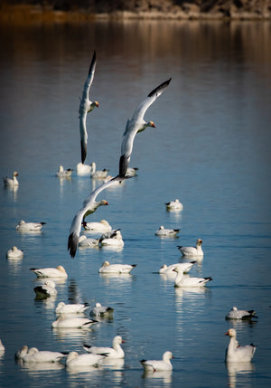 Snow Geese on the Wing 2