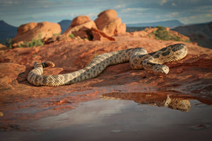 Great Basin Rattlesnake with reflection
