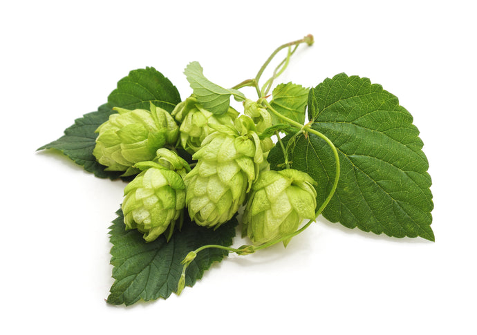 Hops and the Essential Oil they Produce
