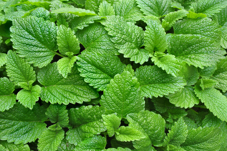 Our Eight Top Tips on Different Ways to Use the Herb Lemon Balm