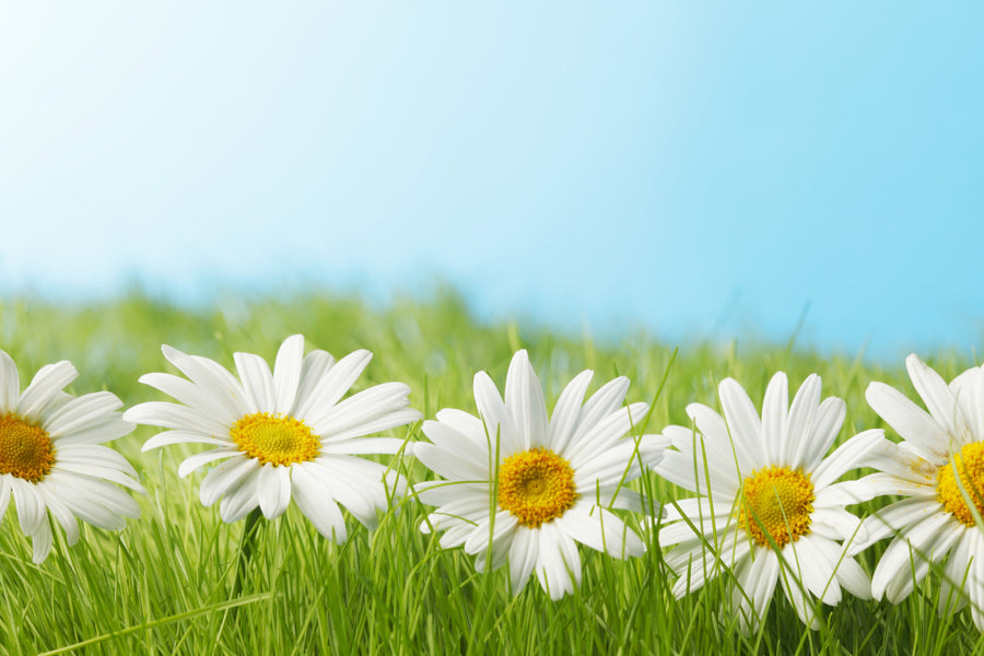 Chamomile Is A Popular Home Remedy With Caring Mothers | Amoils.com