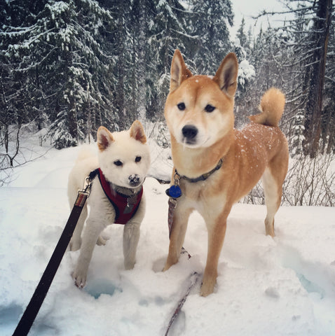 two shiba inu dogs, Kona and Casper as a puppy, standing in the mountain snow while it snows, with trees in the background