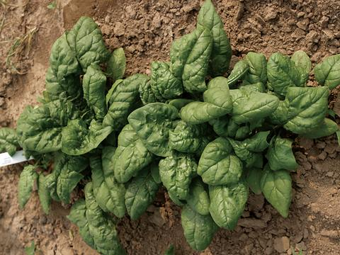 Bloomsdale Dark Green Spinach