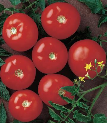 Mountain Fresh Hybrid (Tomato)