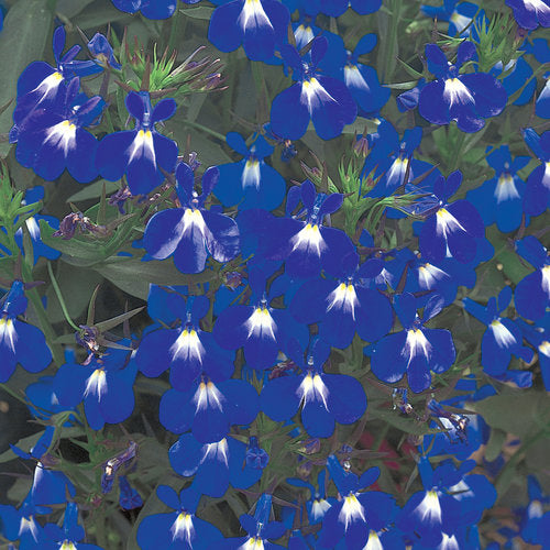 Lobelia Laguna Compact Blue with eye