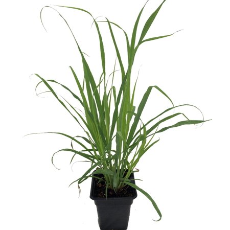 "Lemon Grass 4"" Pot"