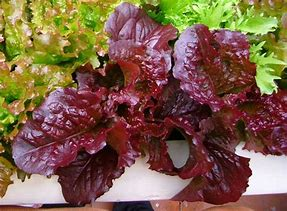 Red Salad Bowl Lettuce  4 Cell Pack