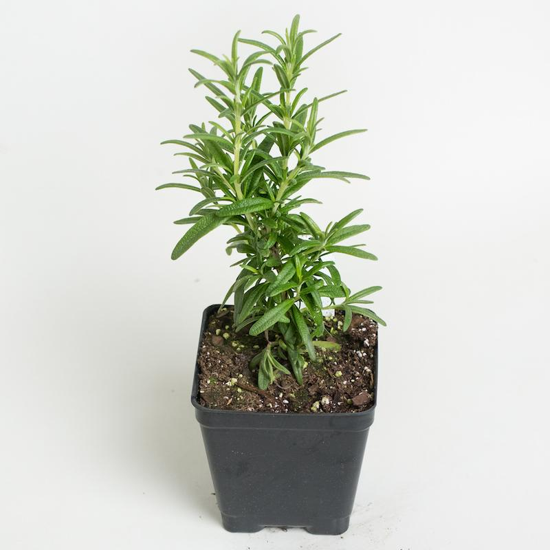 "Tuscan Blue Rosemary  4"" Pot"