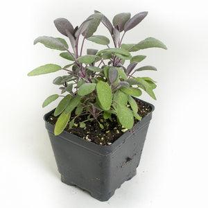 "Purple Sage  4"" Pot"