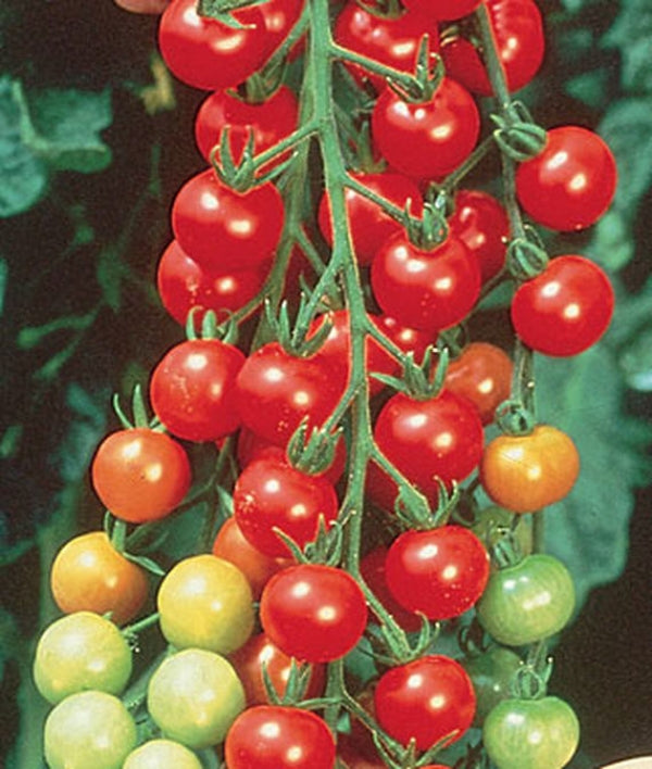 Super Sweet 100 Hybrid (Red Cherry Tomato)