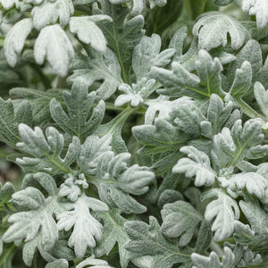 Artemesia (Wormwood) - Silver Bullet
