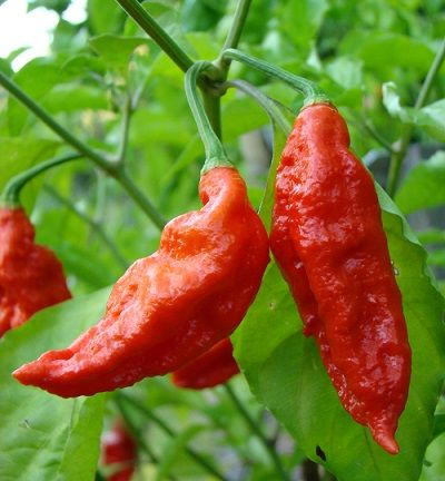 "Bhutjolkia Red Pepper ""HOT"""