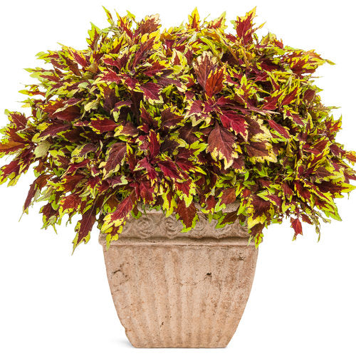 Coleus colorBlaze Apple Brandy